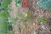 Une grosse tomate